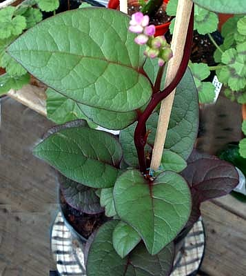 how to grow spinach indoors in the winter