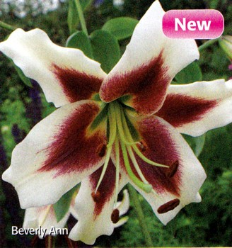 Hirts: Bulbs; Lily 'Beverly Ann' O.T. Hybrid Oriental Lily 2 Bulbs 16/18cm at Sears.com