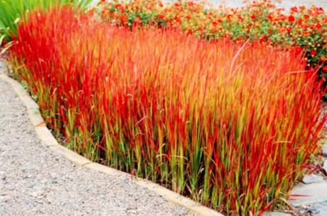 Japanese blood grass imperata cylindrica 39 red baron 39 4 for Red and green ornamental grass