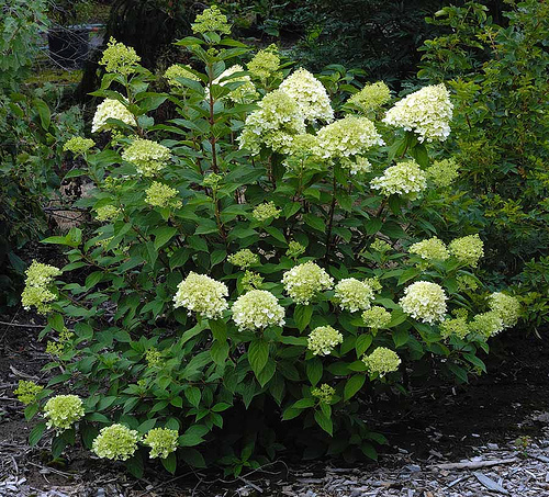Hirts: Hydrangea 'Limelight' Hydrangea - Beautiful Colors - Hardy Shrub - Proven Winners at Sears.com