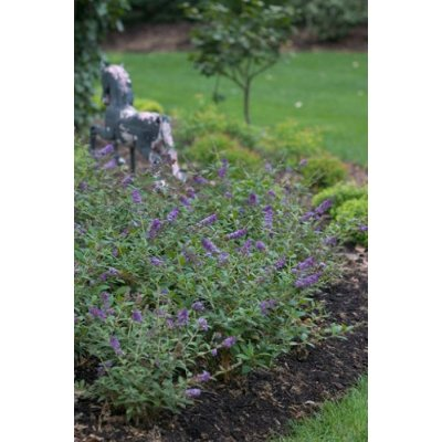 Hirts: Trees & Shrubs Lo & Behold� Blue Chip - Butterfly Bush - Buddliea - Proven Winners - 1 Qrt Pot at Sears.com