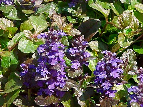 Hirts: Ajuba 'Purple Brocade' Bugleweed - Ajuga - Purple Foliage/Blue Flowers - One Quart Pot at Sears.com
