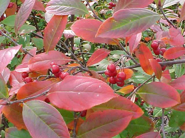 "Hirts: Aronia 'Brilliantissima' Red Chokeberry - Aronia - Hardy - 4"" Pot at Sears.com"
