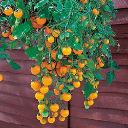 Hirts: Tomato Plants Basket Boy Yellow Tomato - 4 Plants - Weeping Habit at Sears.com