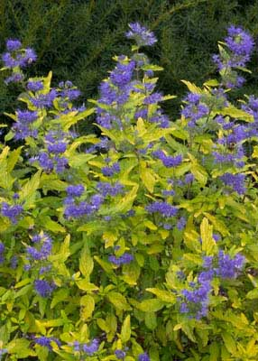 Hirts: Bluebeard Lil' Miss Sunshine - Bluebeard - Caryopteris - Hardy -Proven Winners -1 Qrt Pot at Sears.com