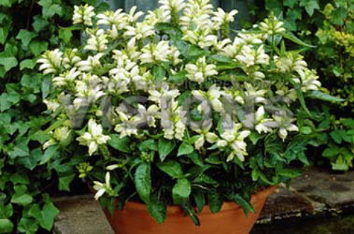 "Hirts: Perennials; Sun 'White' Turtlehead Plant - Shade Perennial - Chelone alba - 4"" Pot at Sears.com"