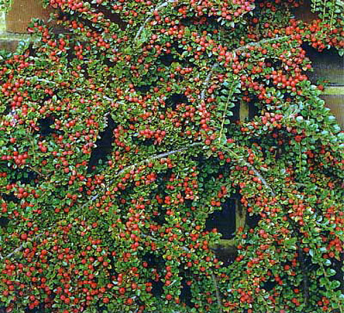 "Hirts: Cotoneaster 'Tom Thumb' Cotoneaster - Cotoneaster adpressus - 4"" Pot - True Dwarf at Sears.com"