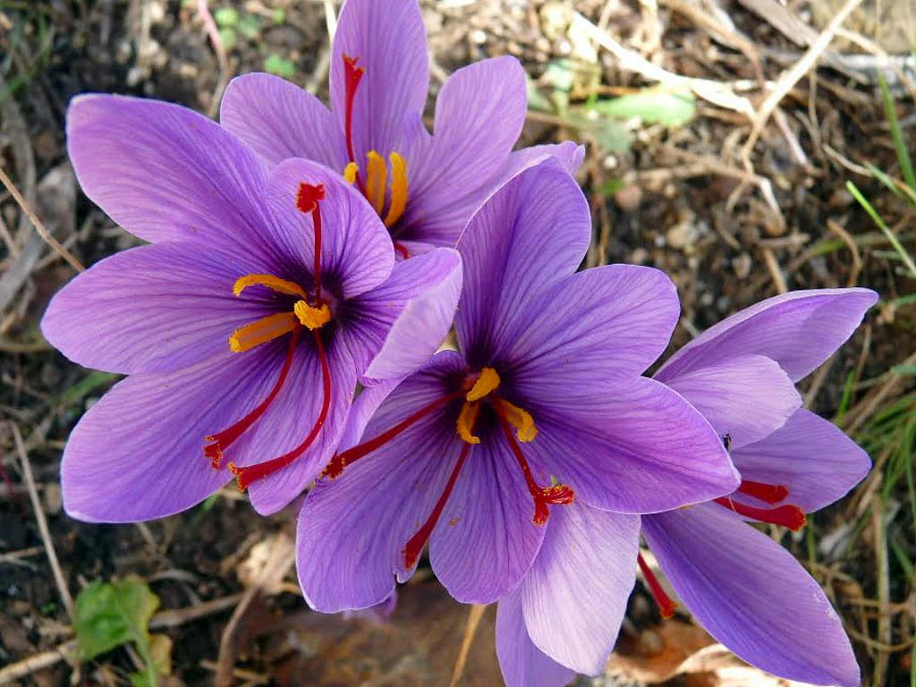 Saffron Crocus 50 Bulbs Rare Spice Fall Blooming Crocus Sativus In St