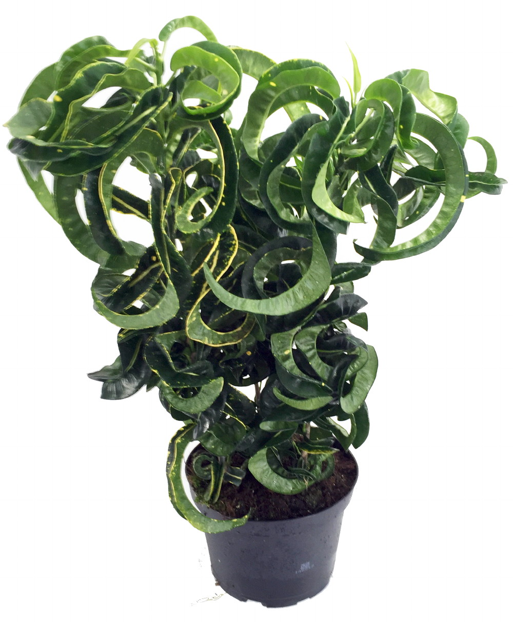 Revolution croton 6 pot colorful house plant easy to grow ebay - Colorful indoor plants ...