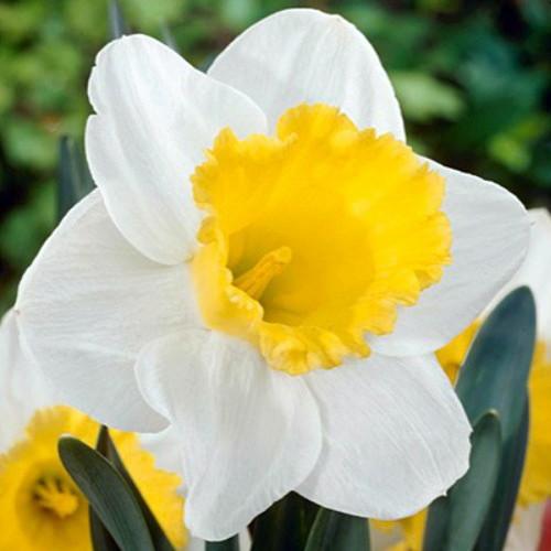 Hirts: Bulbs; Daffodils Holland Sensation Daffodil - 6 Bulbs - Large Trumpet at Sears.com