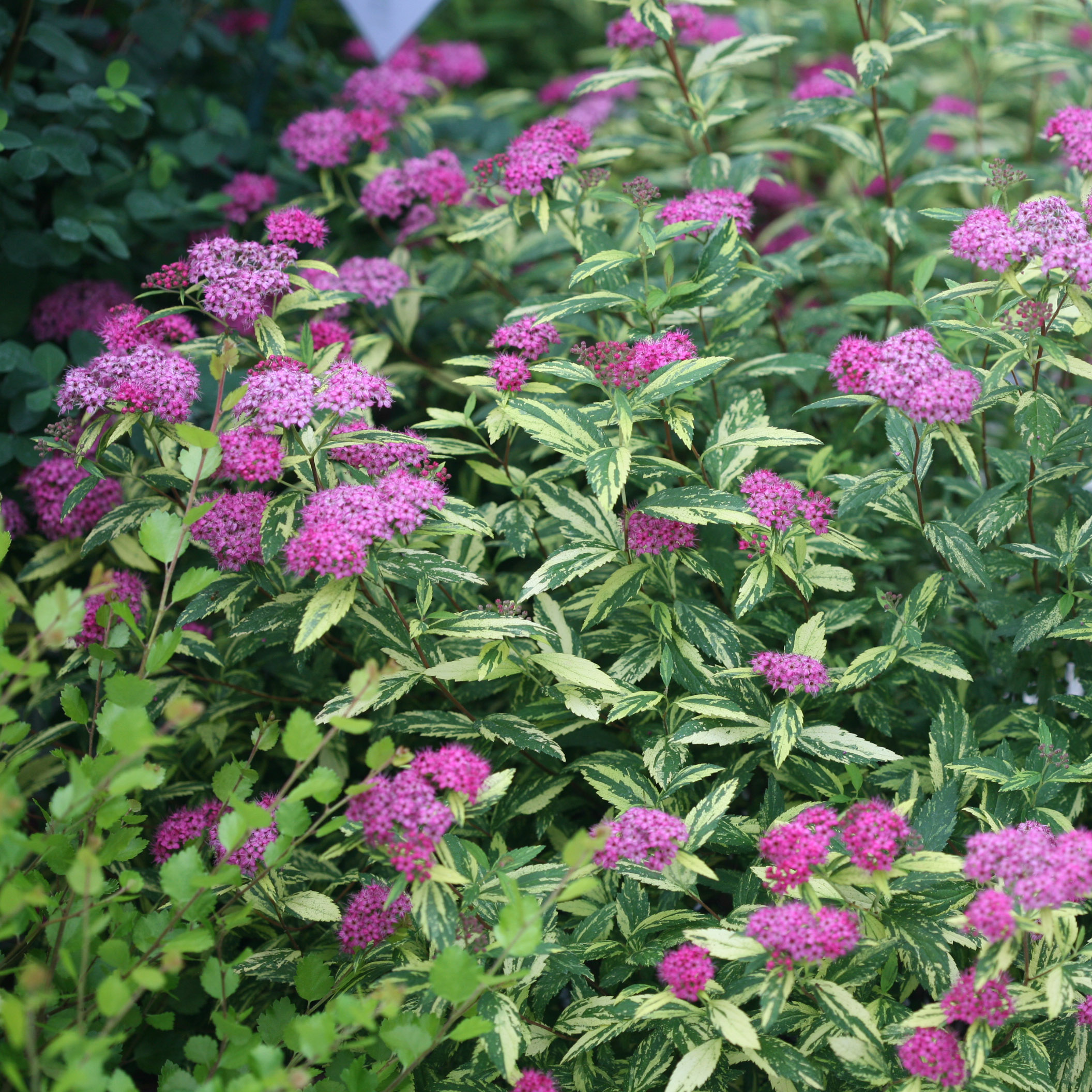 Double Play Painted Lady Spiraea 4 Pot Proven Winner