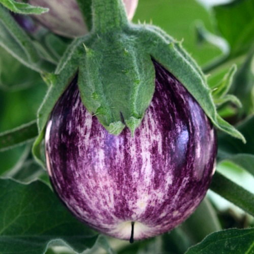 pinstripe eggplant 10 seeds mini eggplant striking. Black Bedroom Furniture Sets. Home Design Ideas