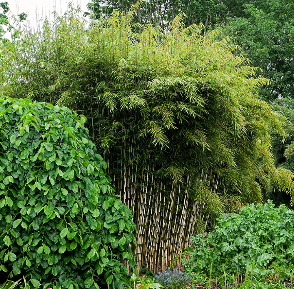 robusta bamboo fargesia grow indoors out 4 pot. Black Bedroom Furniture Sets. Home Design Ideas