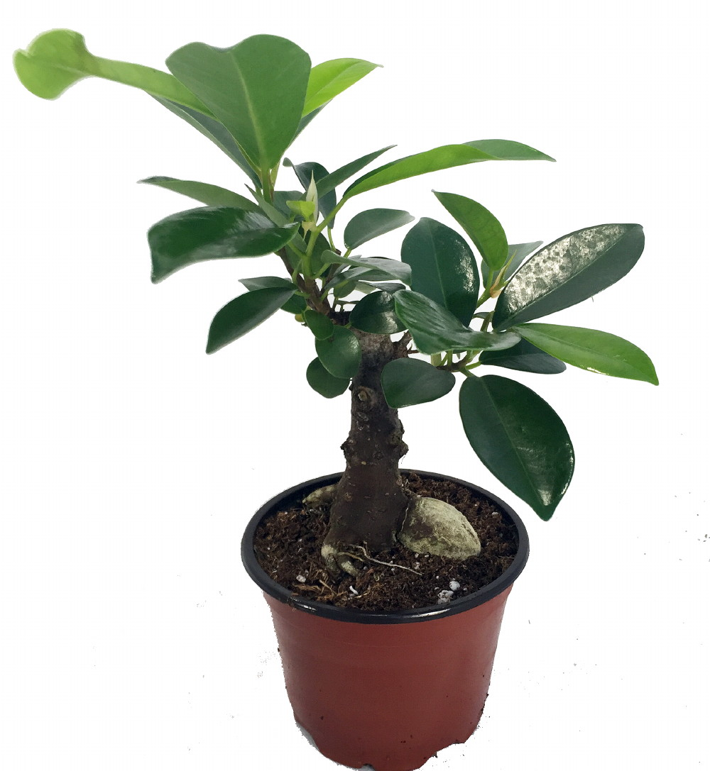 ginseng ficus bonsai starter plant ficus microcarpa 4 pot. Black Bedroom Furniture Sets. Home Design Ideas