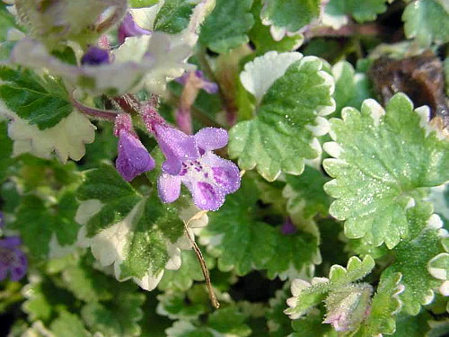 Hirts: Perennials; Sun Variegated Ground Ivy - Glechoma hederacea 'Variegata' - 4/Pack - Stepables at Sears.com