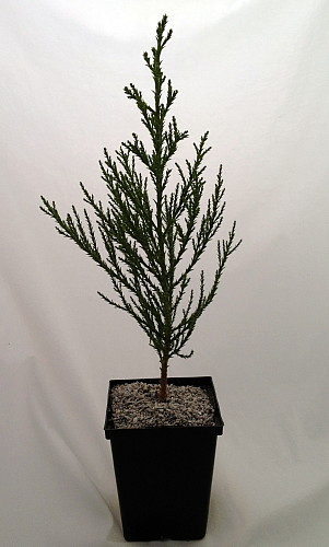"Hirts: Shrubs and Trees 'Greenpeace' Giant Redwood - Sequoiadendron - 4"" Pot at Sears.com"