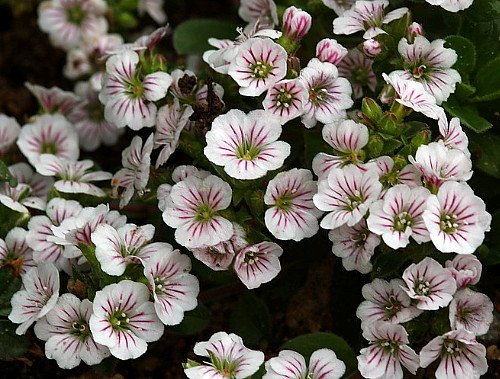 Hirts: Sun Perennials 'Mouse Ear' Babies Breath - Gypsophila cerastoides - 4/Pack - Stepables at Sears.com