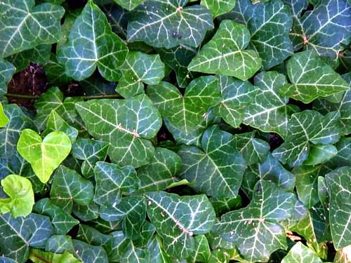 English Ivy 48 Plants - Hardy Groundcover ...