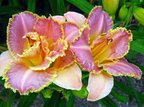 Unlock The Stars Daylily Perennial Hemerocallis 4