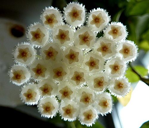 cinnamon scented wax hoya plant porcelain flower great house plant 6 hb ebay. Black Bedroom Furniture Sets. Home Design Ideas