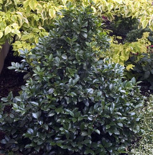 castle wall blue holly ilex hardy broadleaf evergreen. Black Bedroom Furniture Sets. Home Design Ideas