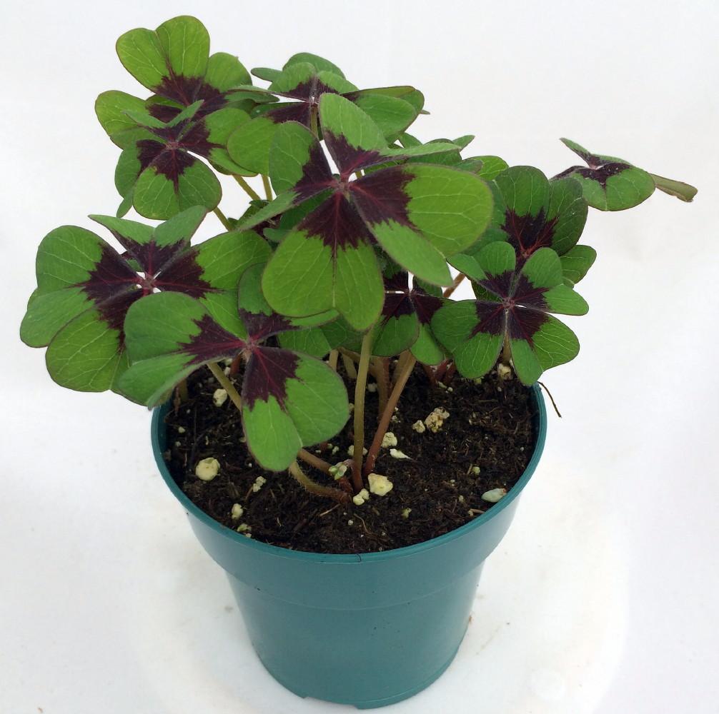 Iron cross shamrock oxalis plant easy grow houseplant 4 pot - Shamrock houseplant ...