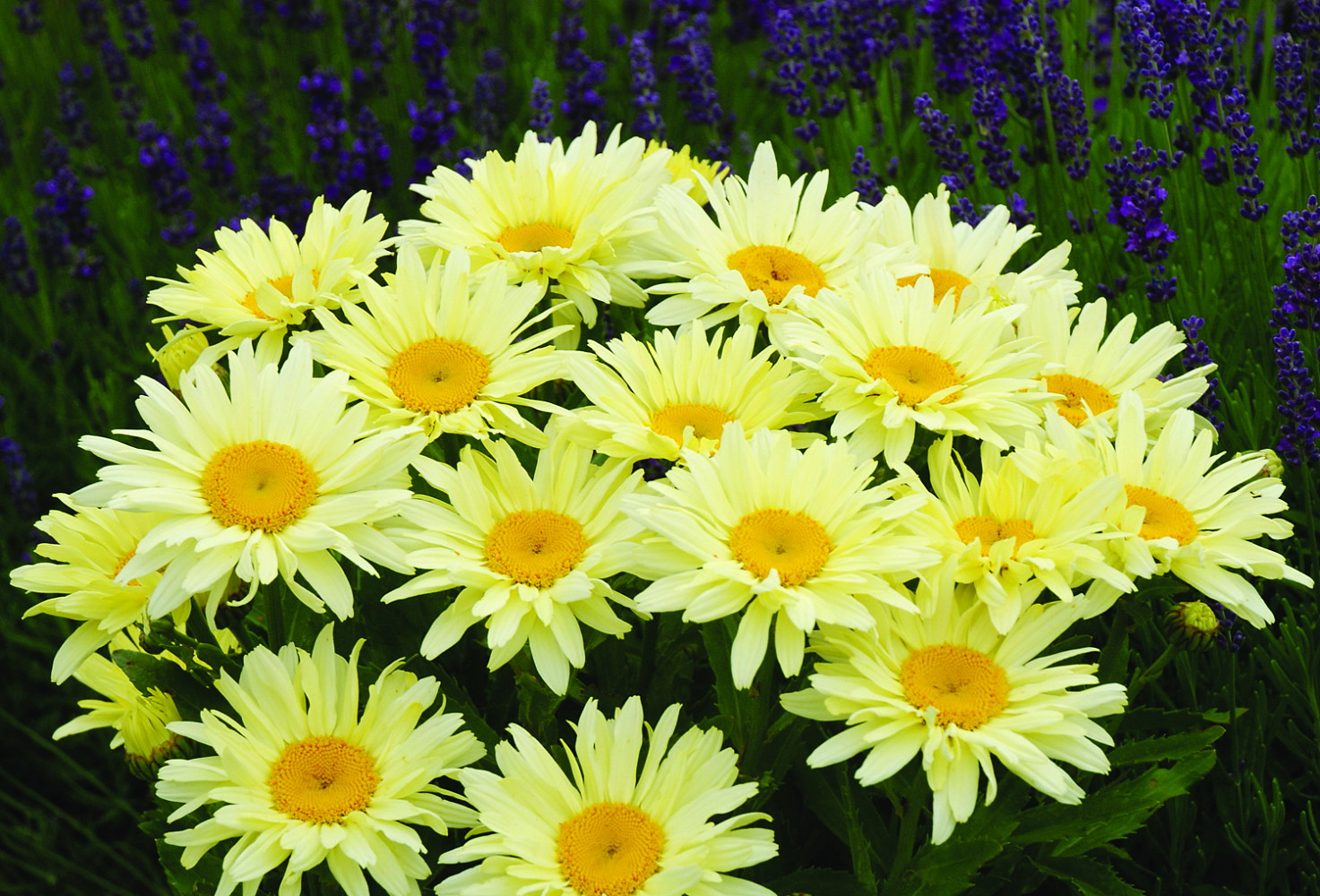 Yellow Shasta Daisy