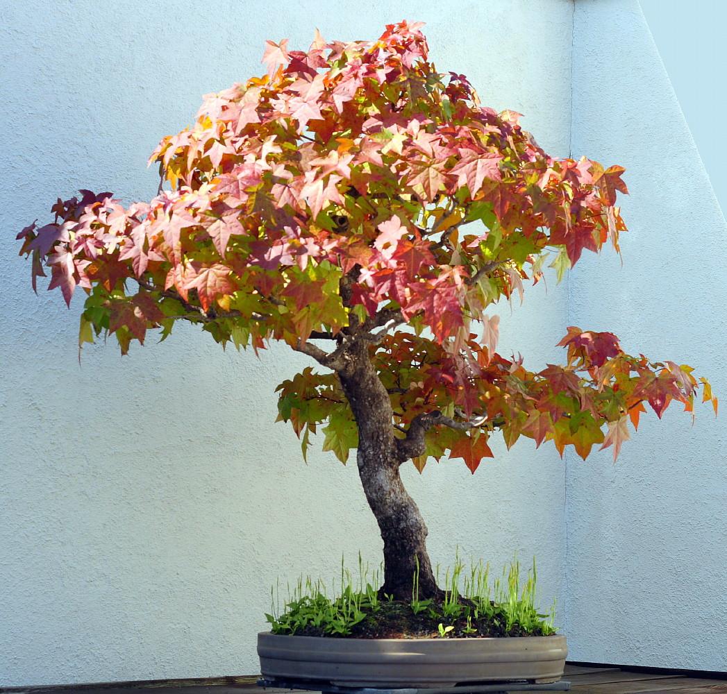 Sweet Gum Tree 7 Seeds Liquidambar Bonsai Hirts Gardens