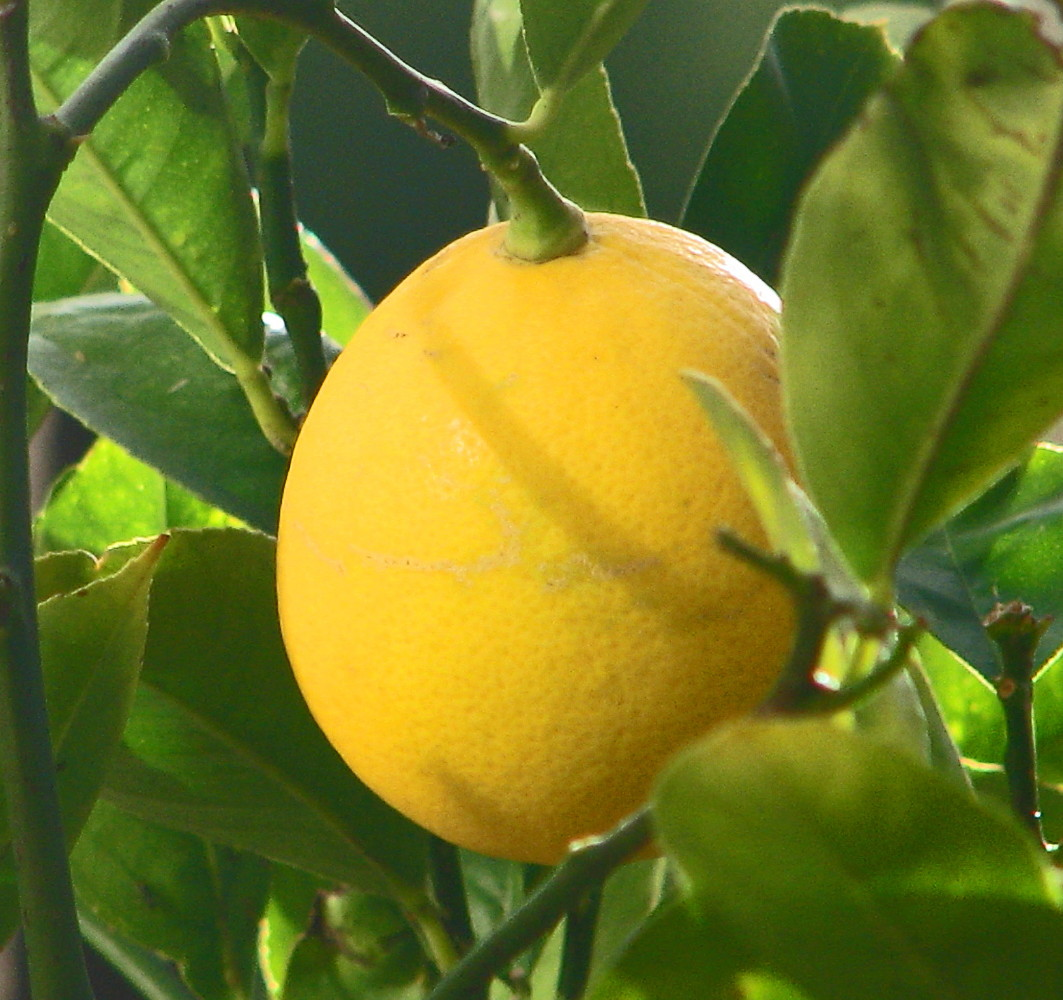 meyer lemon tree citrus tree food fruiting size branched tree