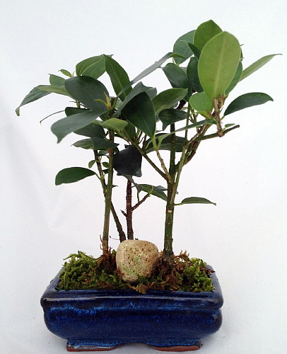 chinese ginseng mini bonsai trees ficus ceramic pot ebay. Black Bedroom Furniture Sets. Home Design Ideas