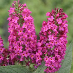 "Hirts: Butterfly Bush 'Miss Ruby' Butterfly Bush - Buddleia - Proven Winners - 4"" Pot at Sears.com"
