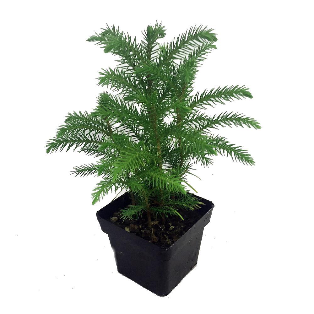 Ohio Grown Norfolk Island Pine -Indoor Christmas Tree - 4\