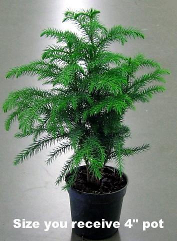 norfolk island pine the indoor christmas tree 4 pot. Black Bedroom Furniture Sets. Home Design Ideas