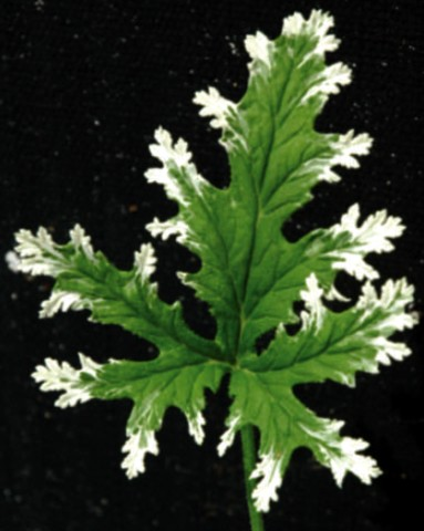 frosted citronella geranium repels mosquitos inside out potted ebay. Black Bedroom Furniture Sets. Home Design Ideas