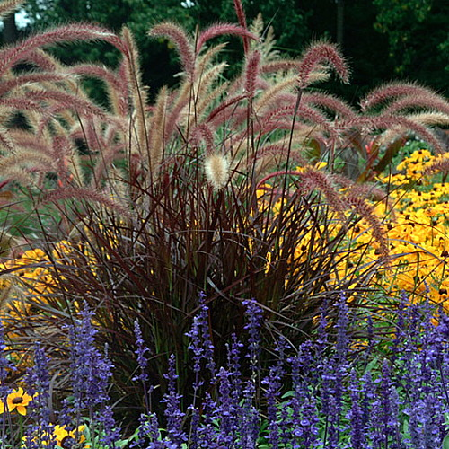 Purple fountain grass pennisetum setaceum 39 rubrum for Hardy fountain grass