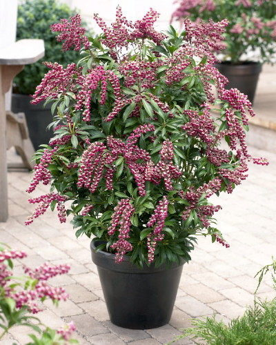 "Hirts: Trees & Shrubs 'Passion' Lily of the Valley Shrub - Japanese Pieris japonica - 4"" Pot at Sears.com"