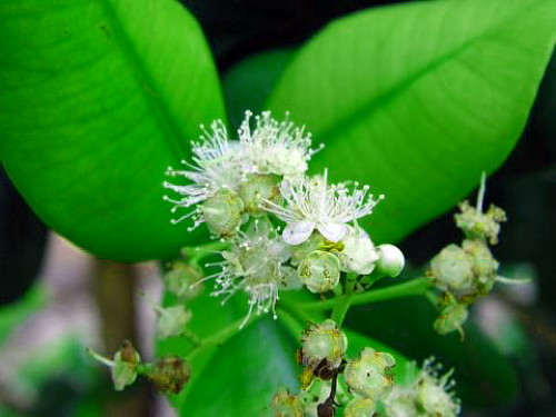 "Hirts: Herbs Bay Rum Tree - Pimenta racemosa - Indian Bay Tree, Ciliment - 4"" Pot at Sears.com"