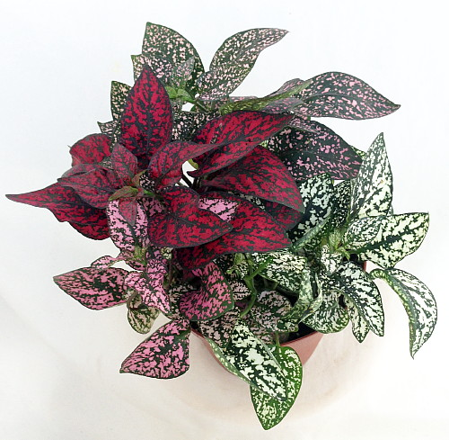 Tri color polka dot plant hypoestes 4 pot colorful house plant ebay - Colorful indoor plants ...