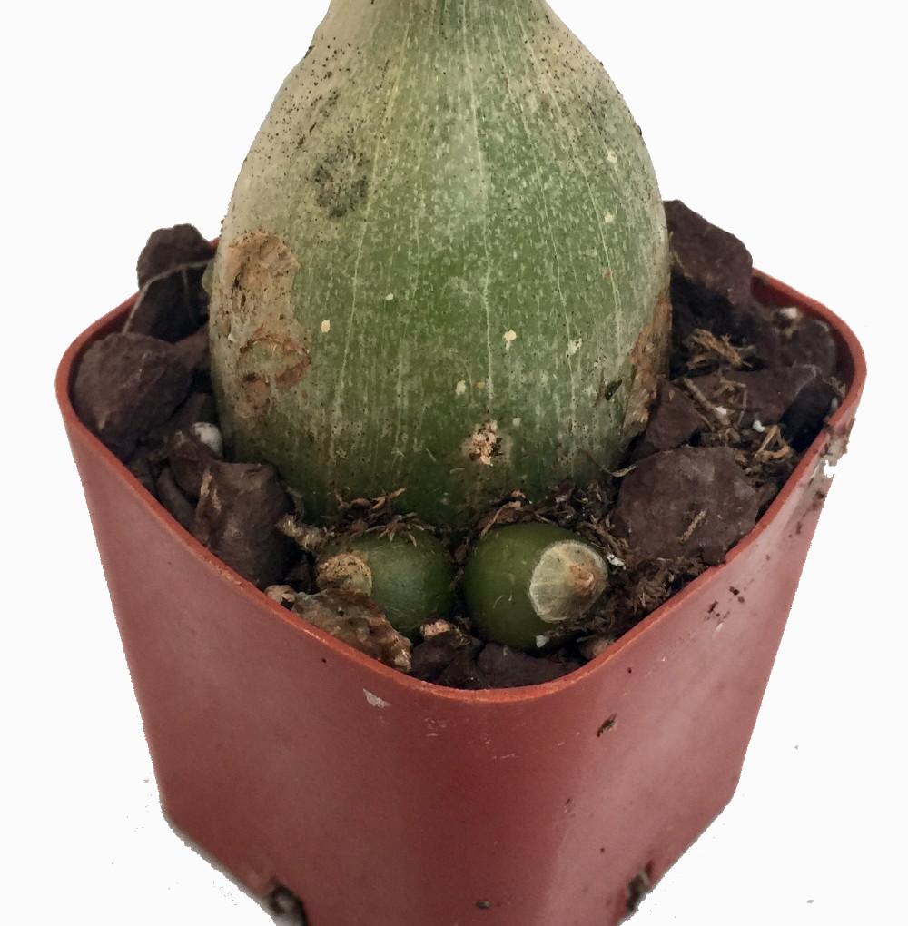 Rare pregnant onion house plant ornithogalum strange 2 pot ebay - Unknown uses for an onion ...