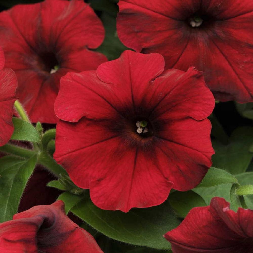 how to grow wave petunia seeds
