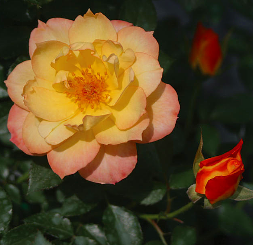 Hirts: Roses OSO EASY� Italian Ice Rose-Disease Resistant/Fragrant/Rebloomer-Proven Winners at Sears.com