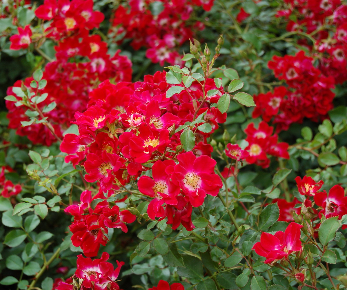 Picture of Live Rose aka Rosa 'Red Meidiland' Plant Fit 1 Gallon Pot