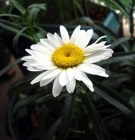 Hirts: Perennials; Sun Alaska Shasta Daisy - Leucanthemum - Huge Flowers - One Quart Pot at Sears.com