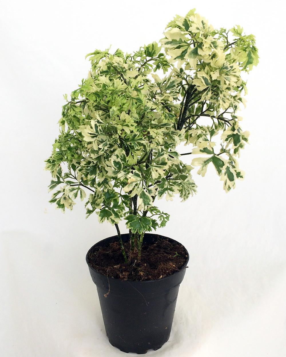 "Hirts: House Plant 'Snowflake' Ming Aralia Pre-Bonsai Tree - Polyscias fruticosa - Indoor - 4"" Pot at Sears.com"