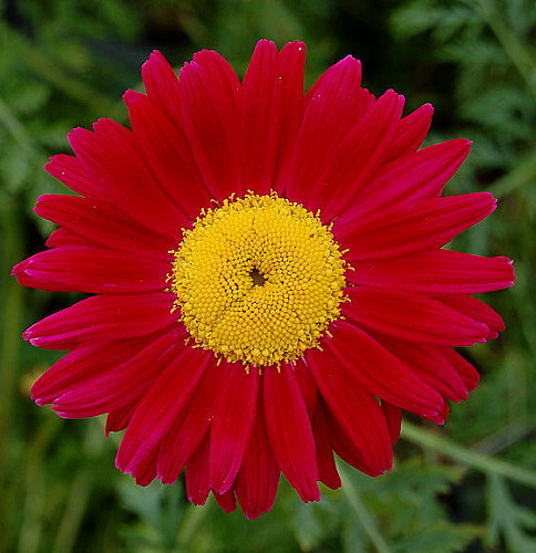 Hirts: Perennial 'Robinson's Crimson' Pyrethrum Painted Daisy - Dark Crimson Potted - 1 Quart Pot at Sears.com