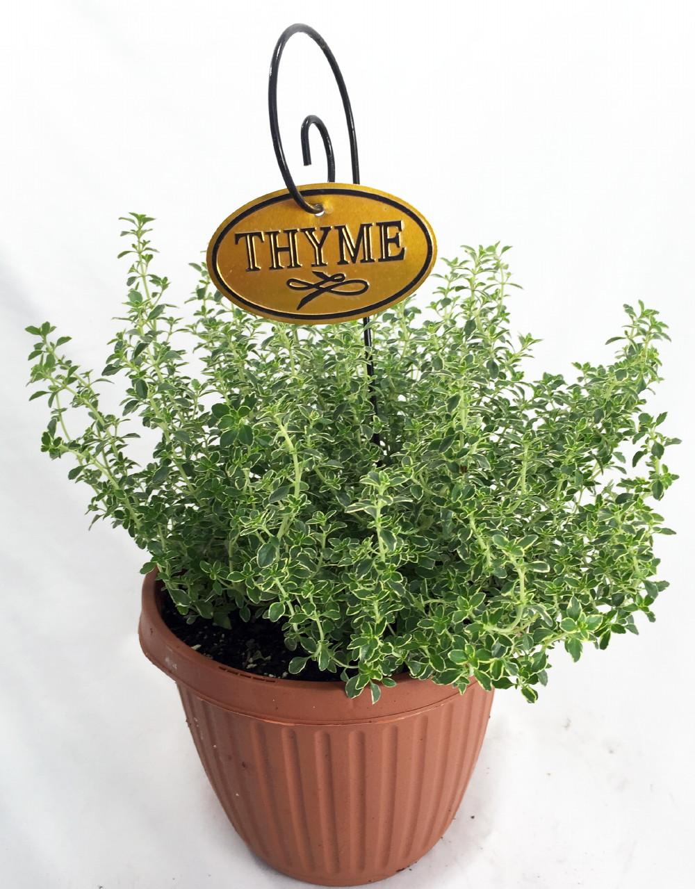 Lemon thyme plant smells tastes like lemon 6 pot ebay for Planting lemon seeds for smell