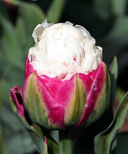 rare ice cream tulip 10 bulbs vanilla strawberry scoop ebay. Black Bedroom Furniture Sets. Home Design Ideas