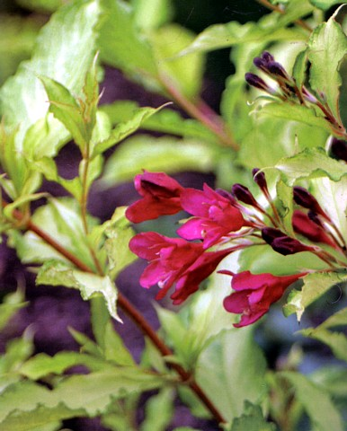Hirts: Weigela Ghost� Weigela - Outdoors or Bonsai - Ghostly Foliage - Proven Winners at Sears.com