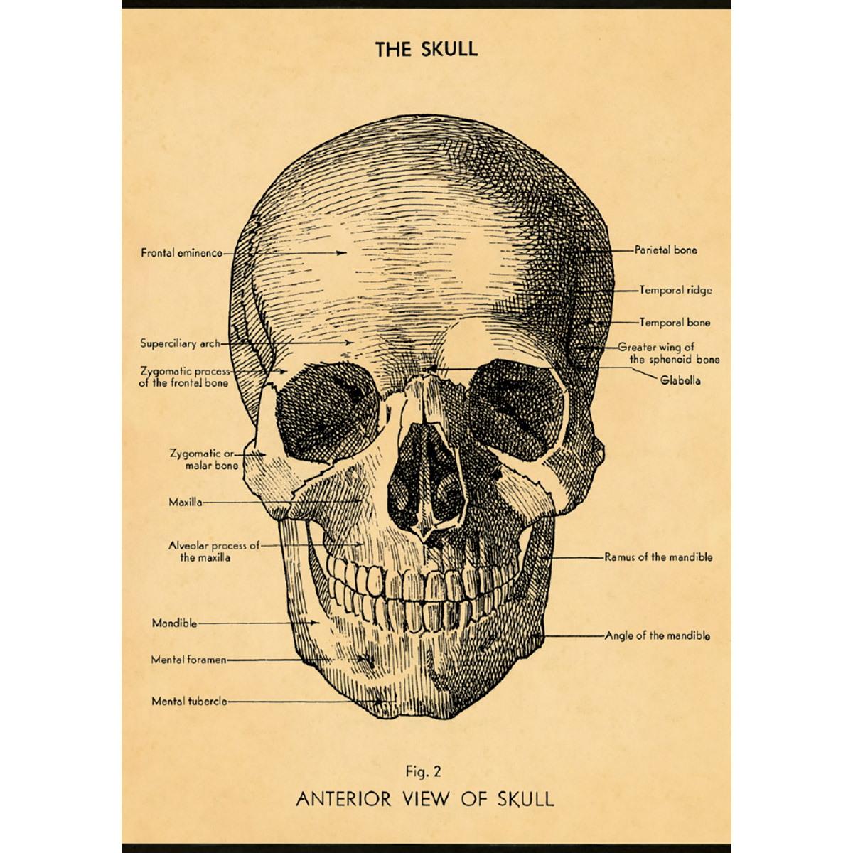 Skull Human Anatomy Scientific Chart Vintage Style Poster