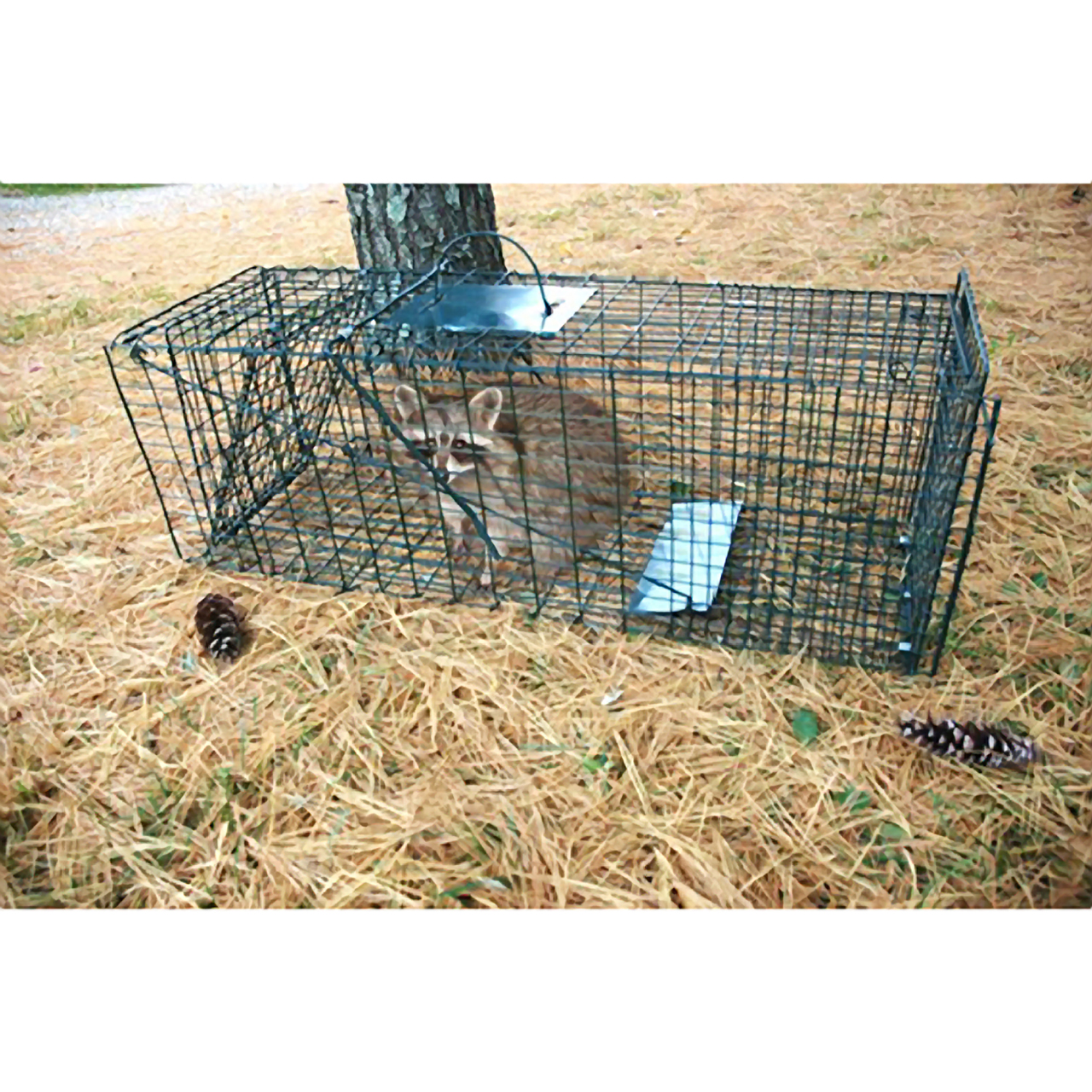 how to set a live animal cage trap